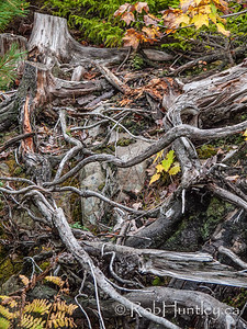 Tangle of Roots. Hemlock Ravine Park.