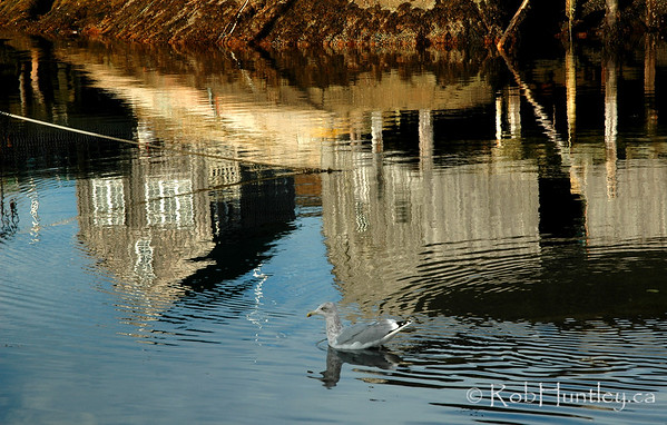 Gull and reflections at Peggy's Cove, Nova Scotia.