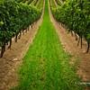 Grapevines, Niagara Wine Region, Ontario, Canada