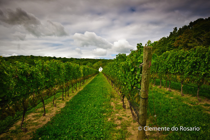 Rows of Grapevines at Hidden Bench Vineyard, Niagara Wine Region, Ontario, Canada