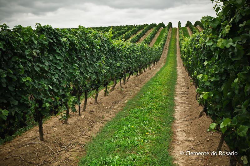 Rows of Grapevines, Ontario Wine Region,Canada