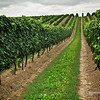 Rows of Grapevines, Ontario Wine Region,Canada