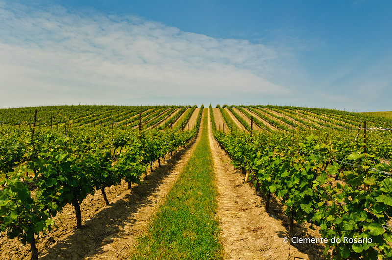 Vineyard in Niagara Wine Region,Ontario,Canada
