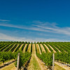 Rows of grapewines in Megalommaniac vineyard in the Niagara Wine Region, Ontario, Canada