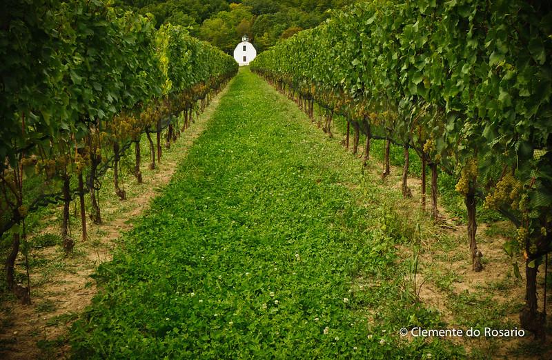 Rows of Grapevines in Niagara Wine Region,Ontario,Canada