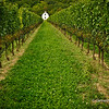 Rows of Grapevines in Niagara Wine Region,Ontario,Canada