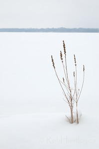 Dried plant poking though the snow along the Ottawa River shoreline in winter.