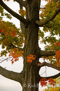 Tree showing fall colour.