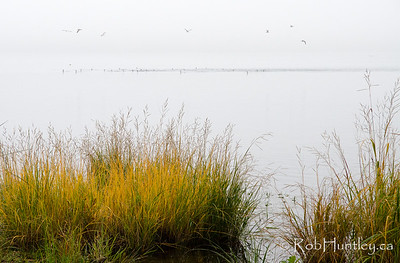 30 Cormorants. I was photographing the shoreline vegetation and in the distance I saw about 30+ cormorants moving upstream and continually diving. The gulls were just as interested as I was. This was a misty autumn morning on the Ottawa River. Too bad my long lens was at home. © Rob Huntley