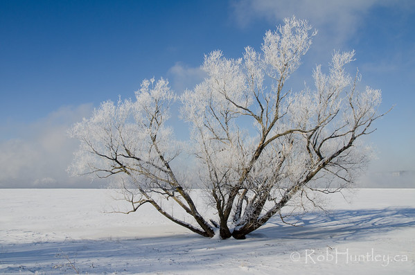 Large Tree with Hoar Frost. Remic Rapids.