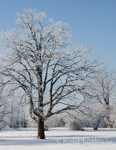 Tree with Hoar Frost.