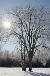 Backlit Tree with Hoar Frost