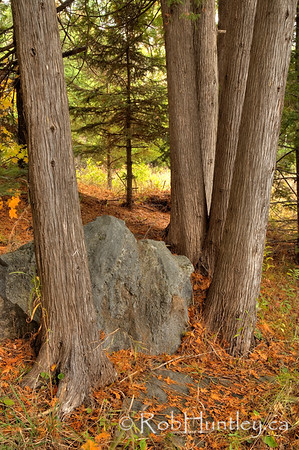 Cedar trunks in the fall. Autumn and even the cedars tend to lose a bit of foliage. © Rob Huntley