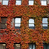 Ivy on the Arts Building, University of Ottawa.