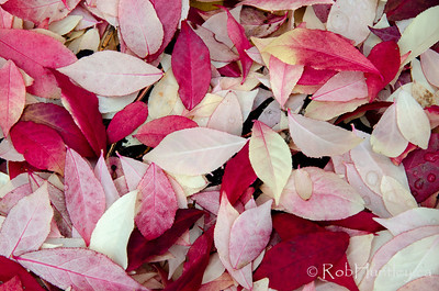 After the fire. Burning bush leaves settled on the ground. Autumn in My Neighbourhood. © Rob Huntley