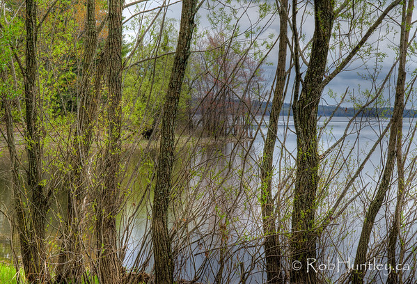 A curtain of tree trunks partly conceals the point. Pinhey's Point Heritage Property and Park. © Rob Huntley 2012