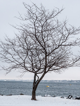 Lone tree on the Saint Lawrence.