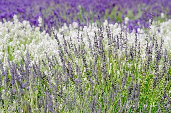 Lavender at Prince Edward County Lavender Farm