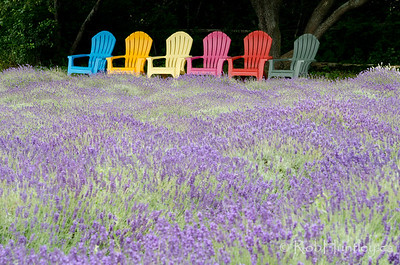 Adirondack chairs and lavender at Prince Edward County Lavender Farm