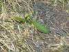 Praying Mantis, at a farm's roadside fruit & veg stand near Stratford, ON.