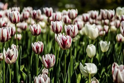 Tulips In Major's Hill Park