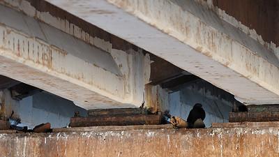 Canada, Prince-Edward-Island / Ile-du-Prince-Edward; dove under the bridge near Stanhope Bayshore on Gulf Shore Pkwy. / Pigeon vivant sous le pont sur la route du parc près de Stanhope Bayshore.