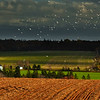 Sea Gulls on a farm land: PEI