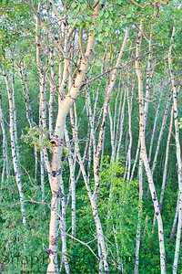 A forest full of aspen trees, focusing on the trunks.