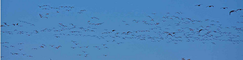 A small part of a group of Canadian geese heading south for the winter