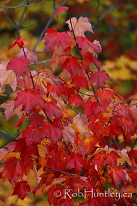 Red maple leaves in the fall in Gatineau Park, Quebec.  © Rob Huntley