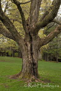 Large old trees dominate the property at the Mackenzie King Estate, Gatineau Park.  © Rob Huntley