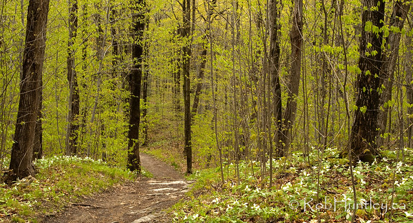 Hiking trail through white trilliums and the spring colours of the Gatineau forest. Mackenzie King Estate, Gatineau Park.  © Rob Huntley
