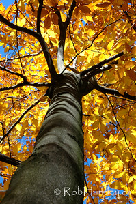 Looking up at golden leaves.