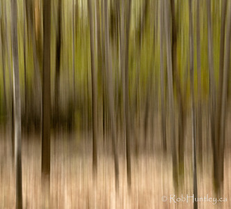 Streaky trees abstract. Mackenzie King Estate, Gatineau Park.  © Rob Huntley