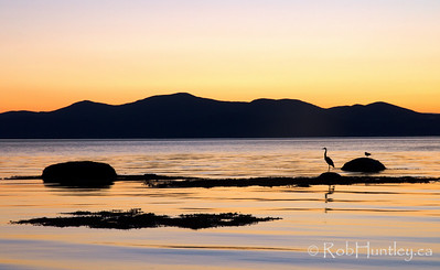 Heron and the St. Lawrence, La Pocatière, Québec. In the Bas-Saint-Laurent-Region. © Rob Huntley 2012