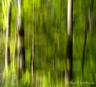 Streaky Trees at Big Cedar Lake 2. Vertical Panning at slow shutter speed to produce streaky trees. In the woods near Big Cedar Lake - Messines, Quebec.  © Rob Huntley
