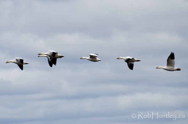 There was a smaller group of geese downstream (maybe 1000) and they were coming in groups of a few to 25 at a time to join the larger flock. There was a major headwind which slowed them down enough to improve the odds of getting a good shot of geese in flight.