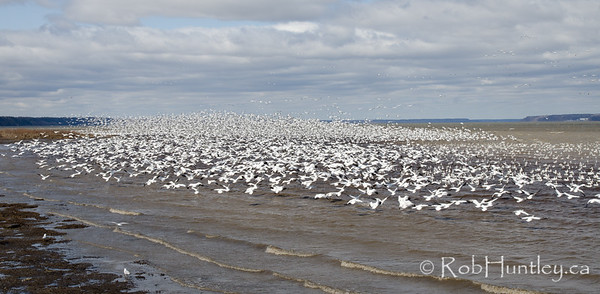 Thousands of snow geese momentarily took to the air and then settled down again quickly to continue feeding. Migration stopover at Saint-Antoine-de-Tilly, Quebec on the St. Lawrence River.