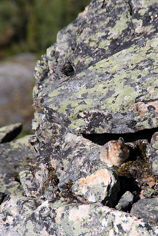 "Pikas are small mammals, related to rabbits (lagomorphs--with two sets of incisors, unlike rodents).<br /> To spot a pika, listen for a high pitched ""Eeek!"" and eventually you'll see this small creature scurry from rock to rock."