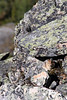 """Pikas are small mammals, related to rabbits (lagomorphs--with two sets of incisors, unlike rodents).<br /> To spot a pika, listen for a high pitched """"Eeek!"""" and eventually you'll see this small creature scurry from rock to rock."""