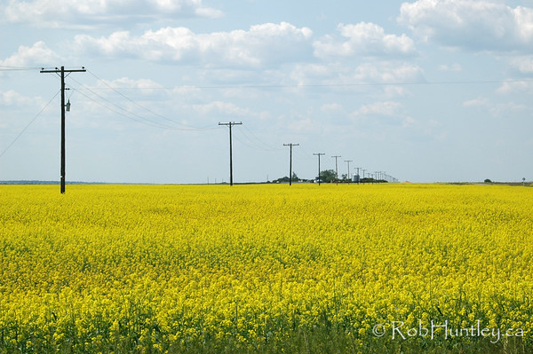 Canola fields and telephone lines in southern Saskatchewan.