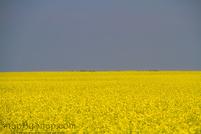 Field of Yellow in the plains of Canada
