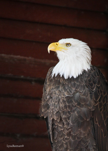 Beautiful...Manwe. He is an adult male Bald Eagle.