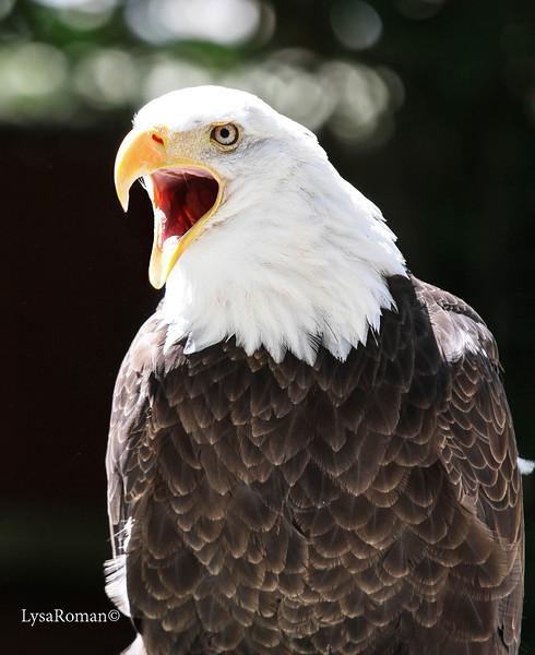 Manwe, Bald Eagle