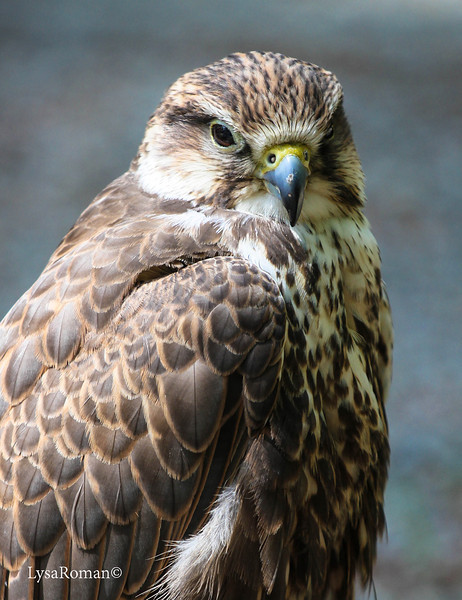 This is the fantastic little Bell! She is the oldest bird at the place(I think they said 20 yrs?) She is a Saker Falcon