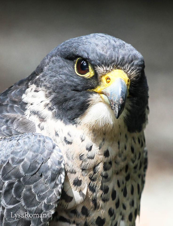 This is the lovely, Lady Grey. She is a Peregrine Falcon, which is the fastest animal on the planet (reaching over 200 mph during its characteristic hunting stoop (high speed dive)