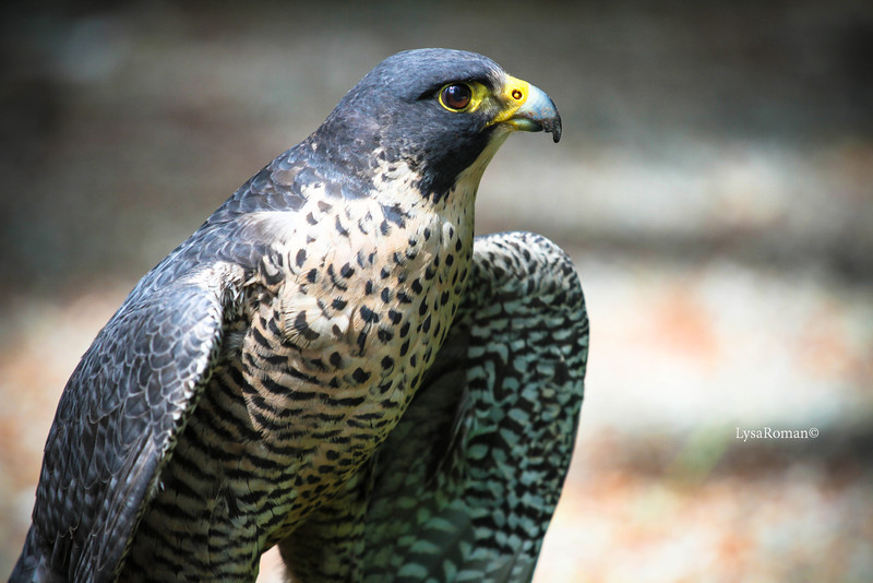 Lady Grey, Peregrine Falcon