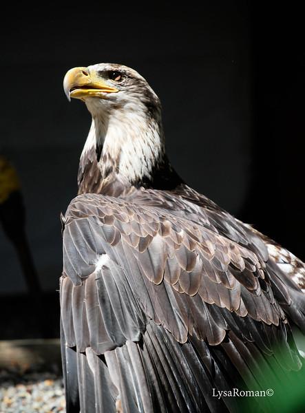 Hera, Bald Eagle, enjoying the sunshine.
