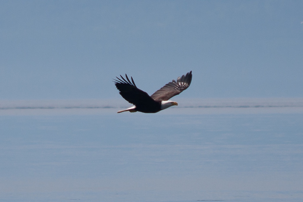 American Eagle photographed from Whale Watching Boat Cruise