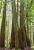 Old growth Cedar and Douglas Fir on Vancouver Island
